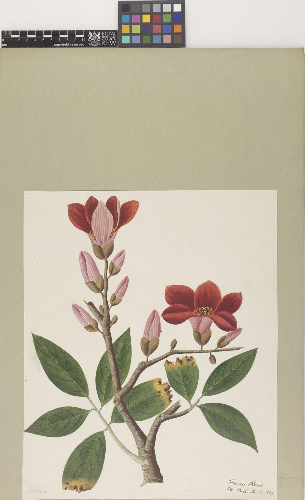 Bombax L  | Plants of the World Online | Kew Science