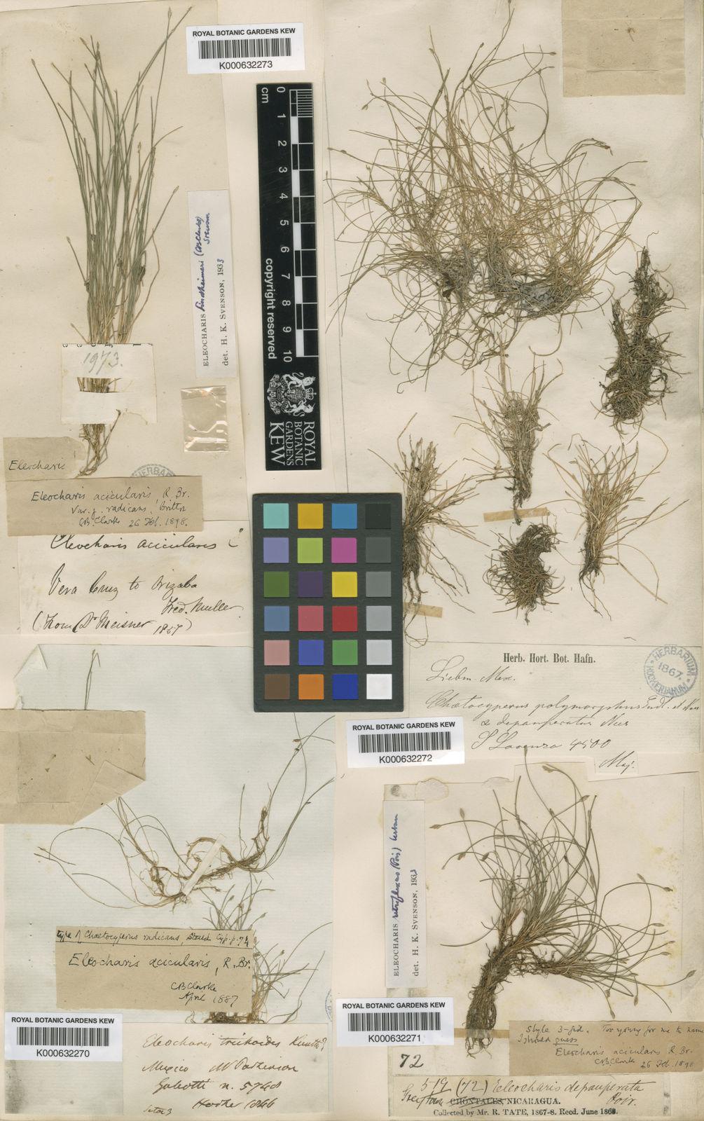 Eleocharis acicularis (L ) Roem  & Schult  | Plants of the