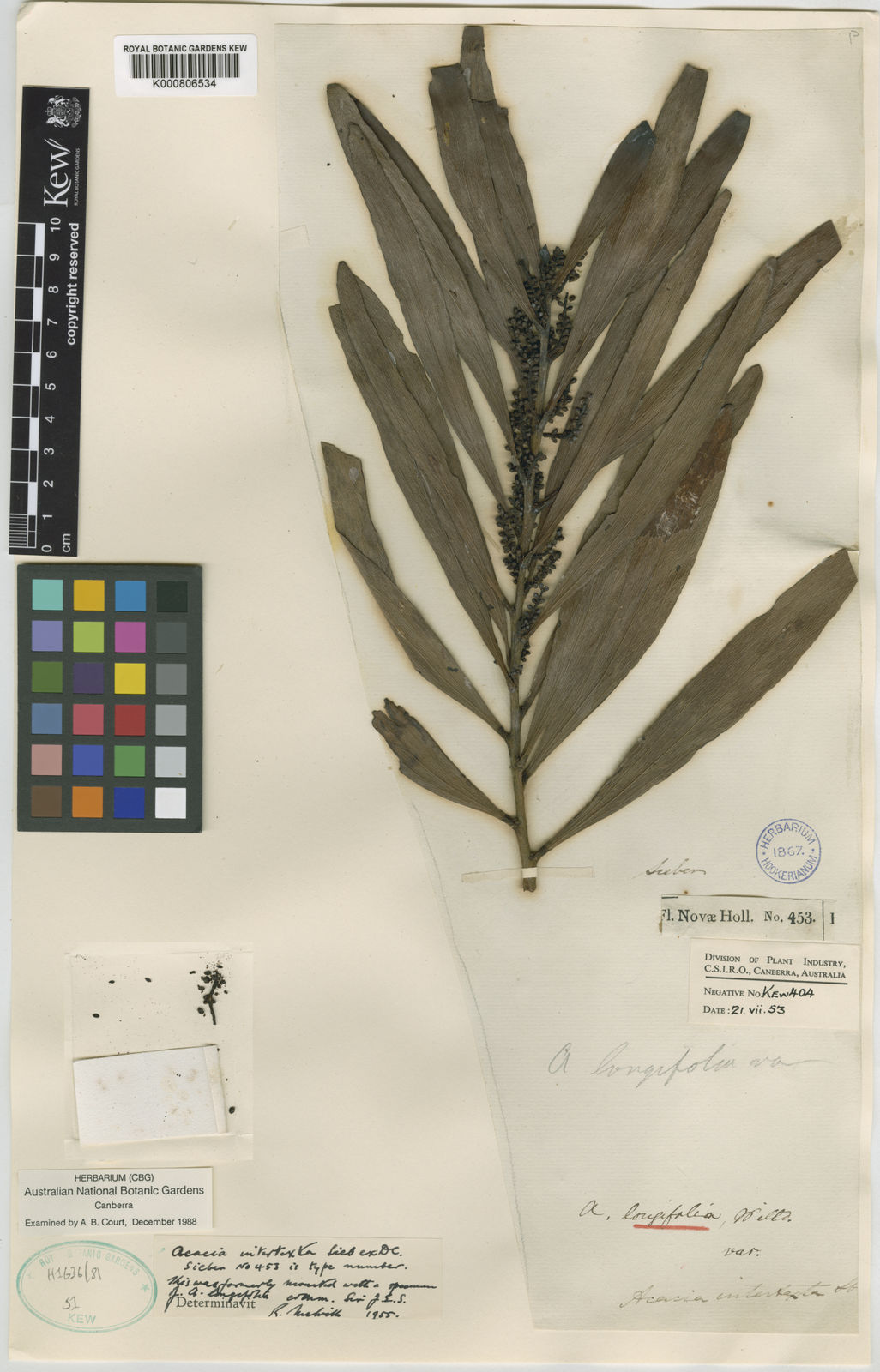 Acacia Obtusifolia Acunn Plants Of The World Online Kew Science