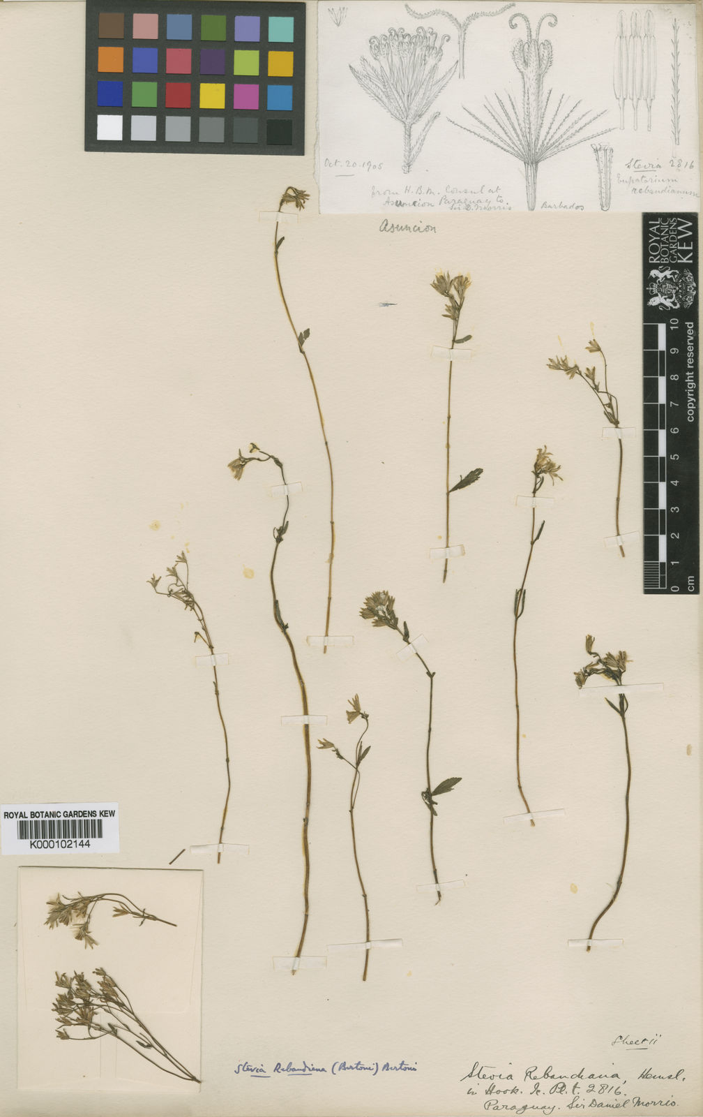 Stevia Cav  | Plants of the World Online | Kew Science