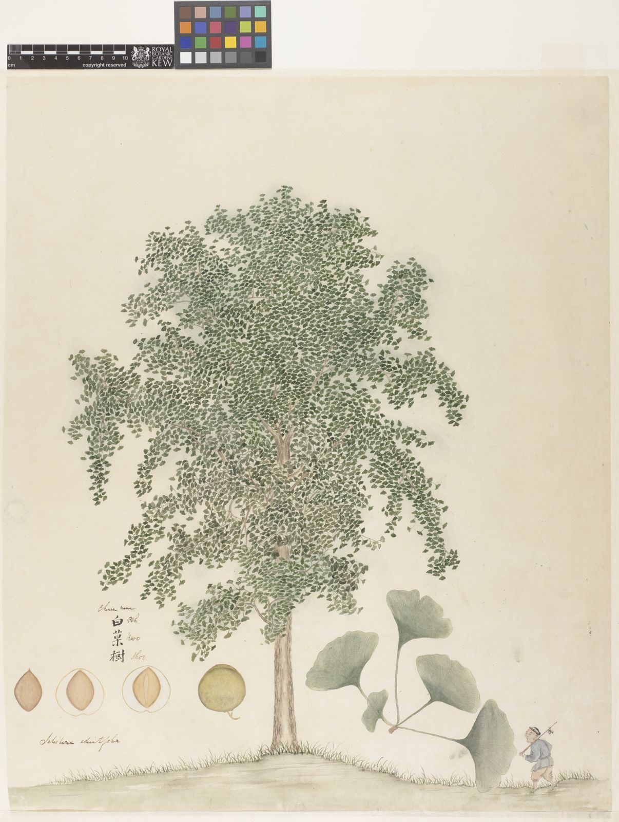 Ginkgo Biloba L Plants Of The World Online Kew Science