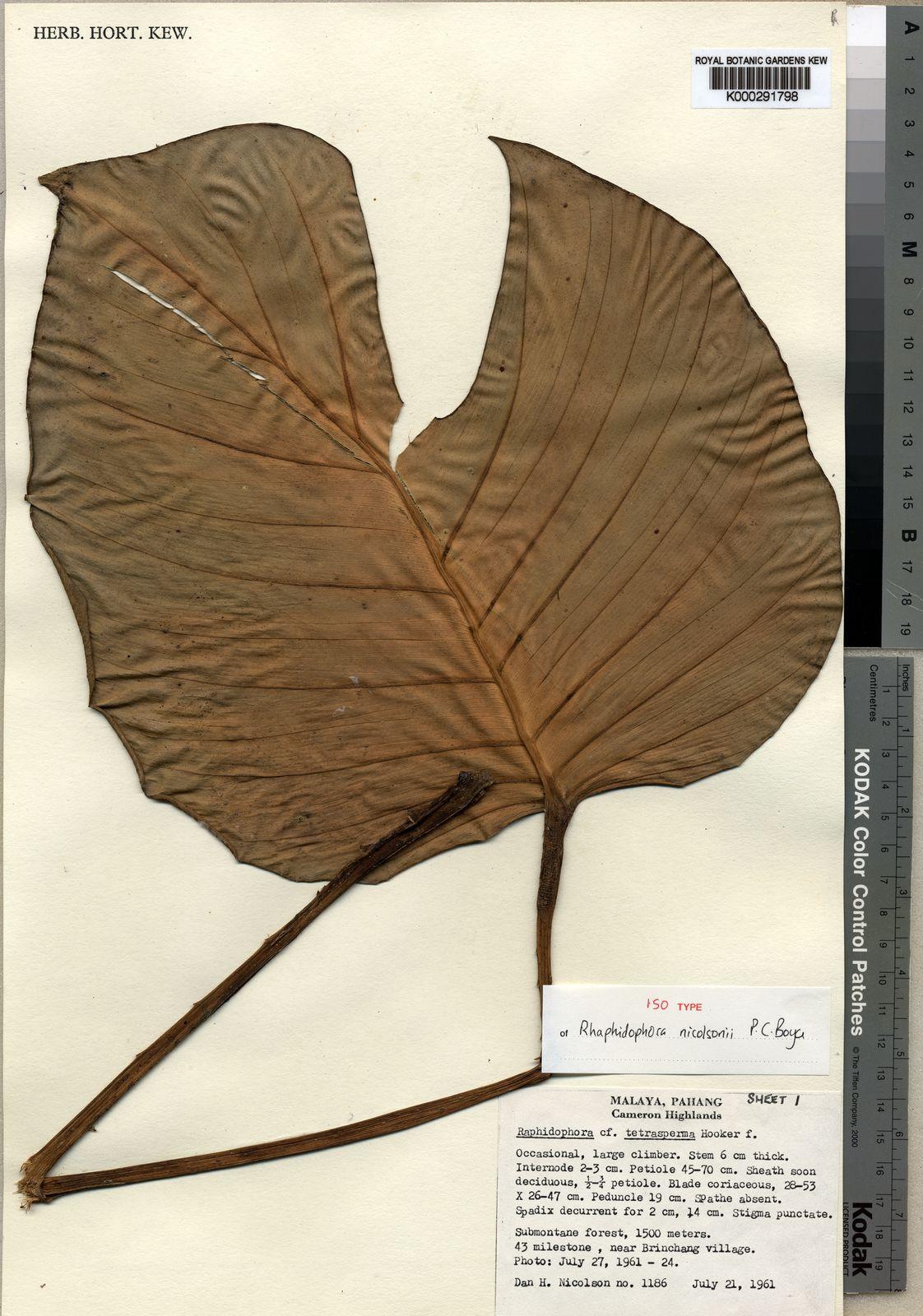 Rhaphidophora Nicolsonii P C Boyce Plants Of The World Online