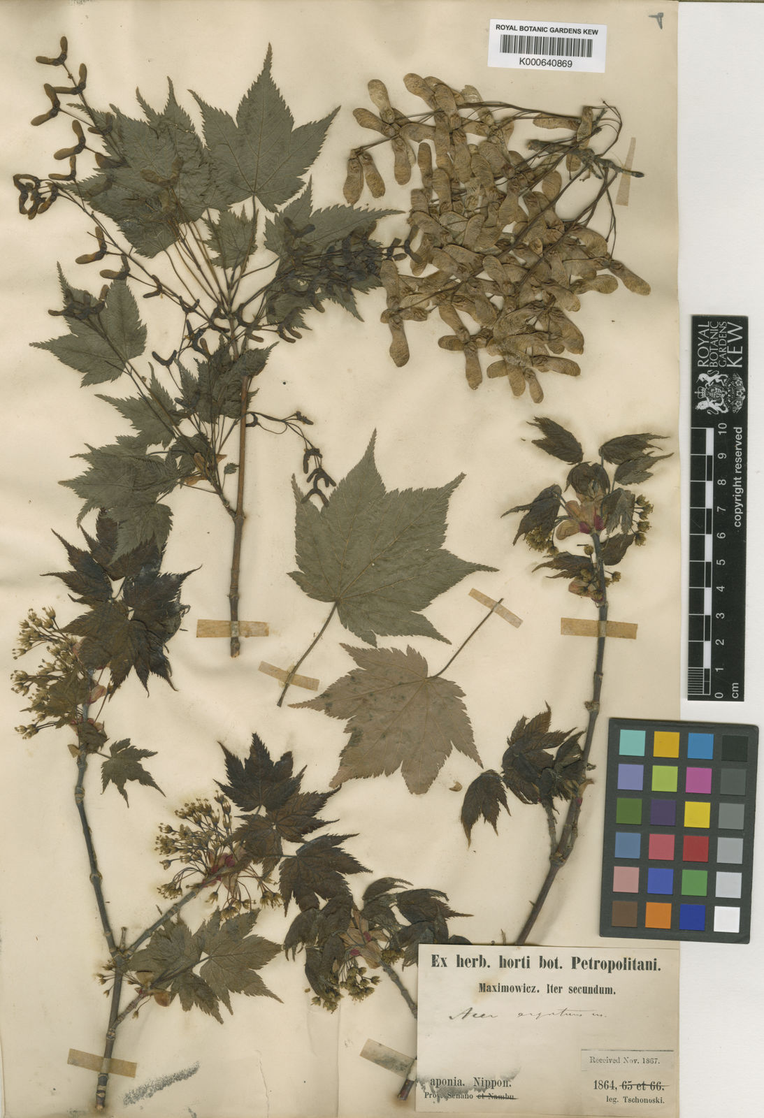 Acer Argutum Maxim Plants Of The World Online Kew Science