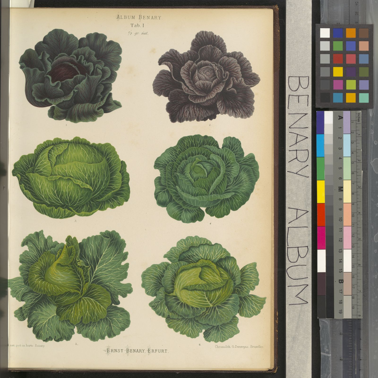 Brassica Oleracea L Plants Of The World Online Kew Science