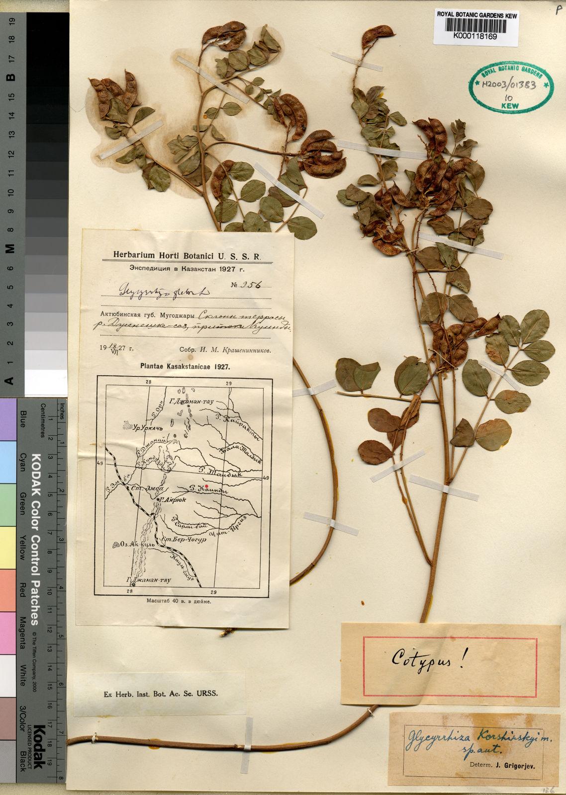 Glycyrrhiza glabra L  | Plants of the World Online | Kew Science