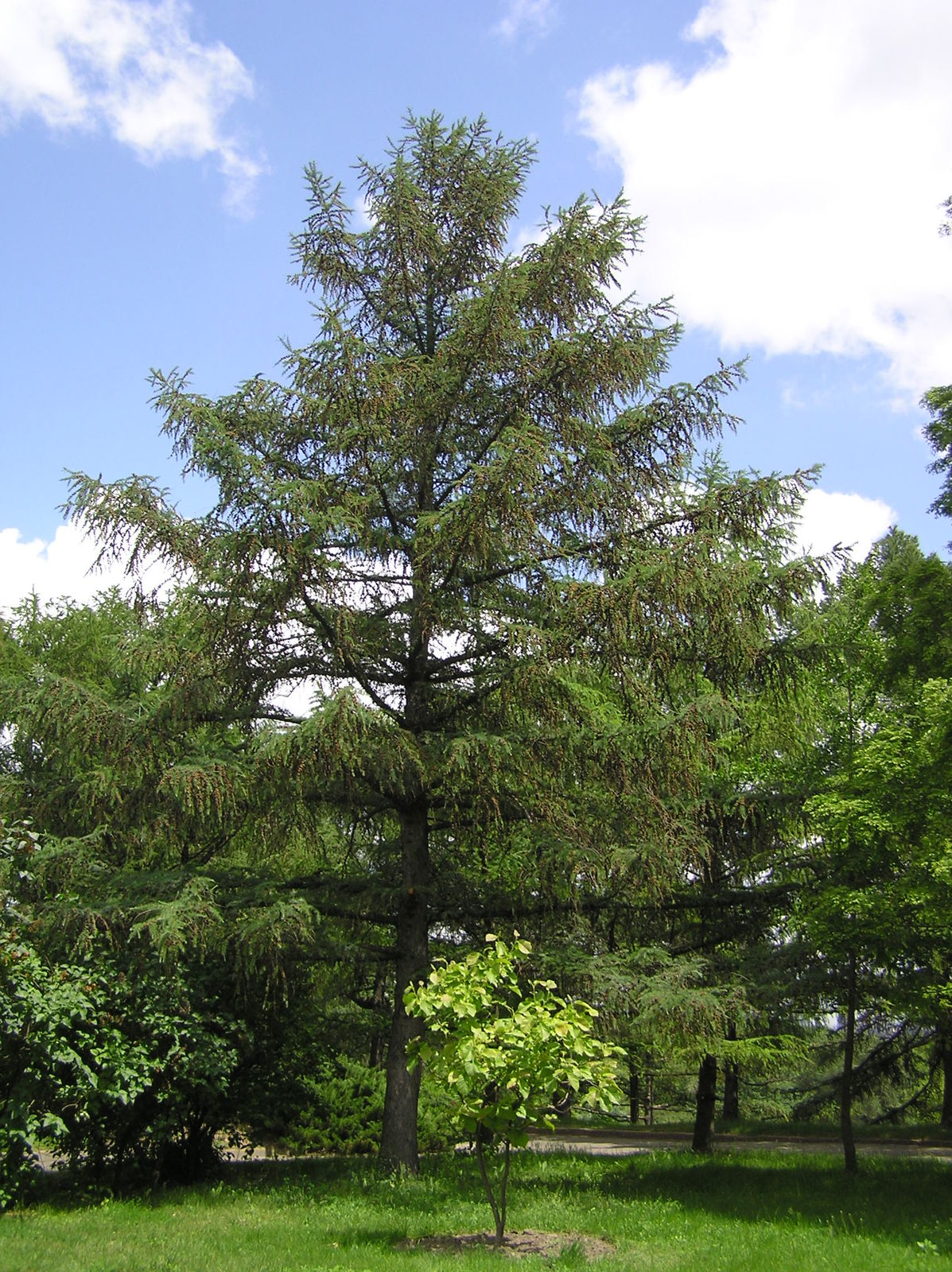 Larix Sibirica
