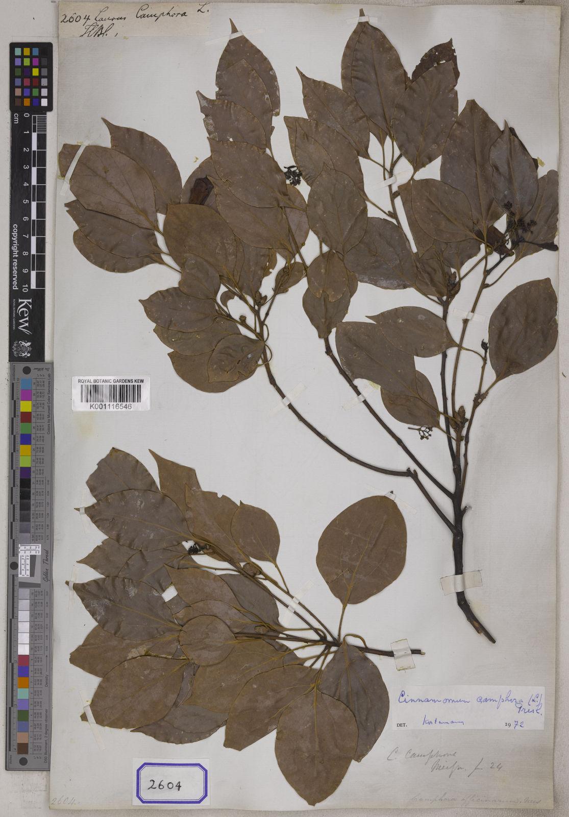 Cinnamomum camphora (L ) J Presl   Plants of the World