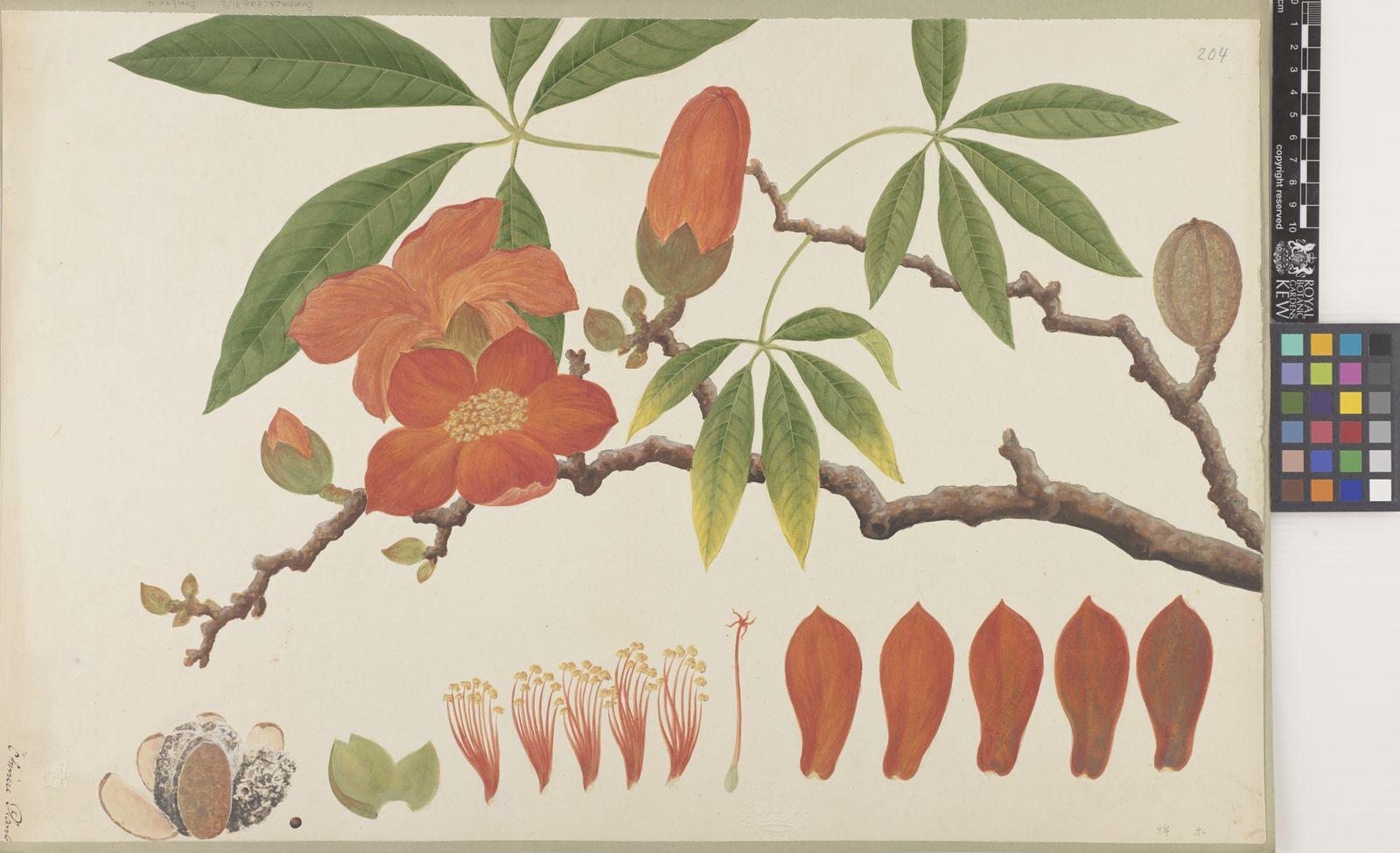 Bombax L    Plants of the World Online   Kew Science