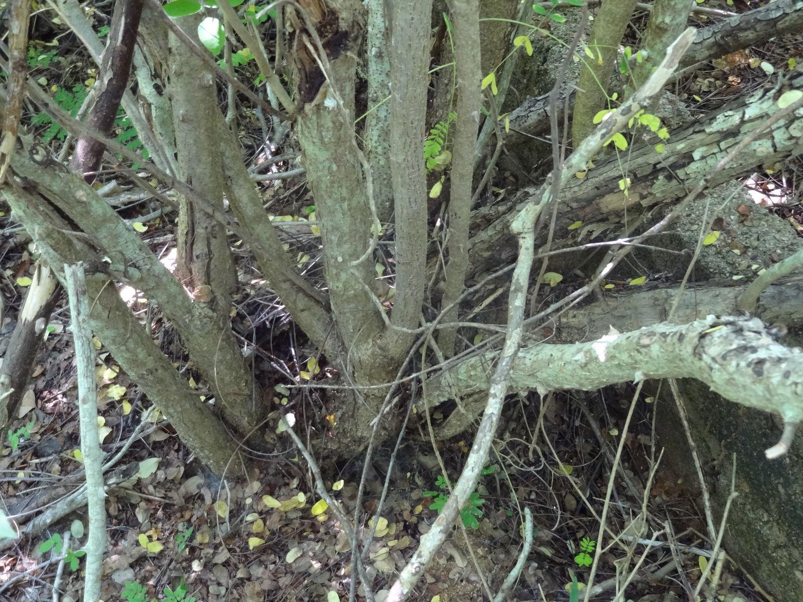 Caesalpinia pulcherrima (L ) Sw  | Plants of the World