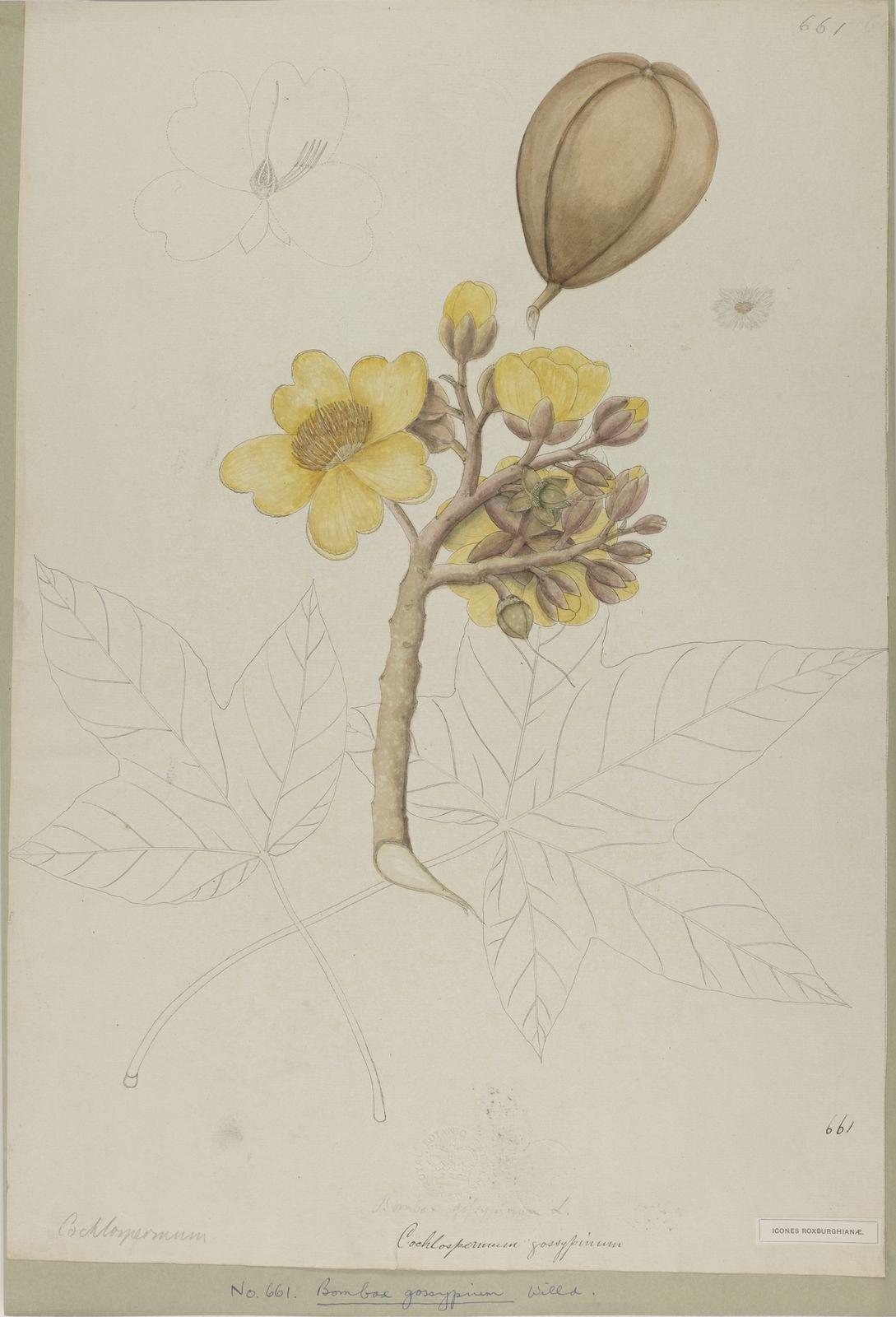 Cochlospermum religiosum (L ) Alston | Plants of the World Online