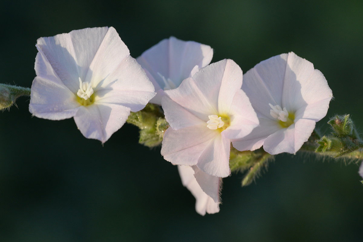 Convolvulus prostratus Forssk. | Plants of the World Online | Kew Science