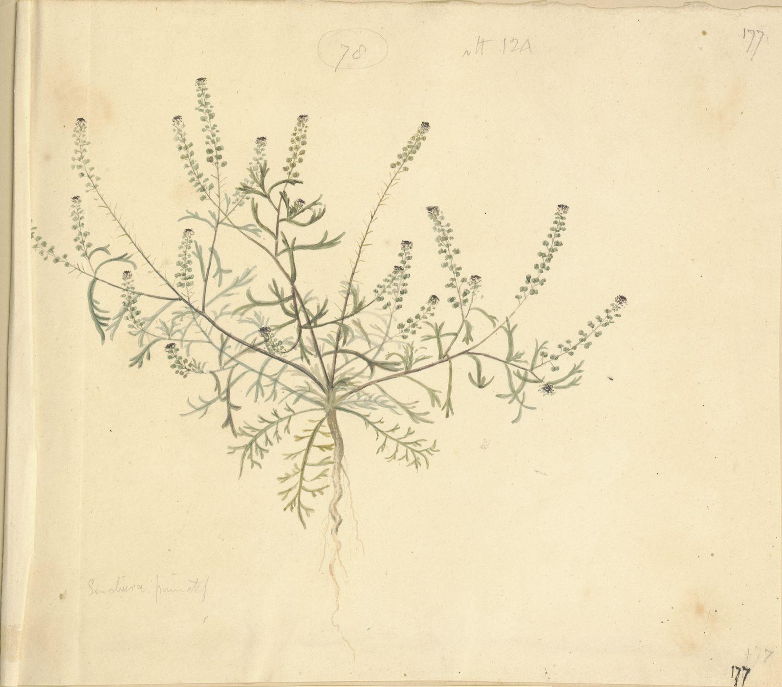 Lepidium didymum L  | Plants of the World Online | Kew Science