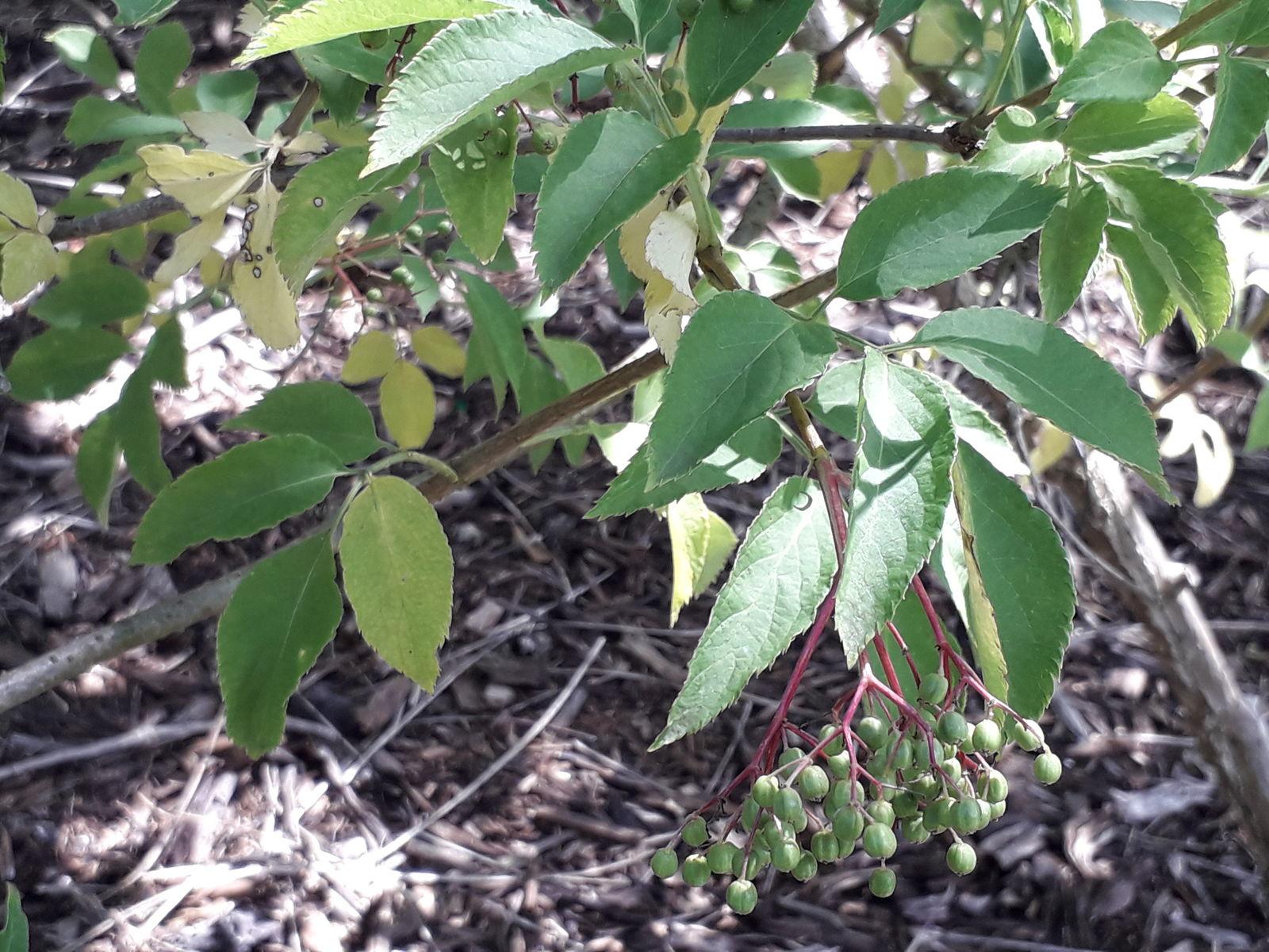 Sambucus williamsii Hance | Plants of the World Online | Kew Science