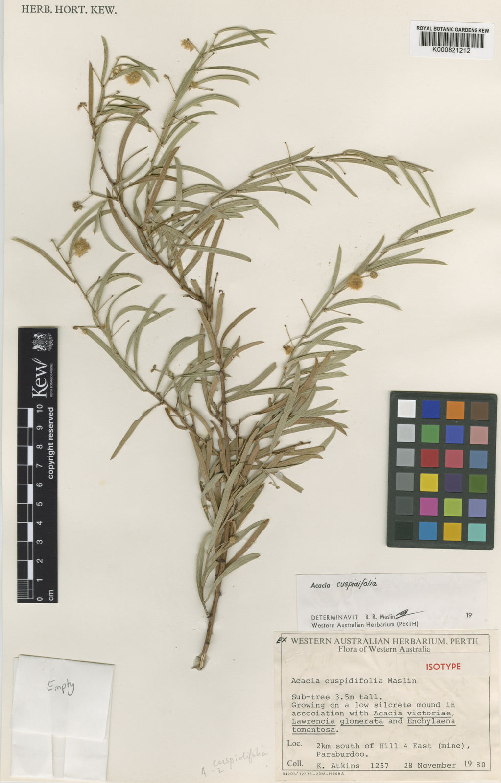 Acacia Cuspidifolia Maslin Plants Of The World Online Kew Science