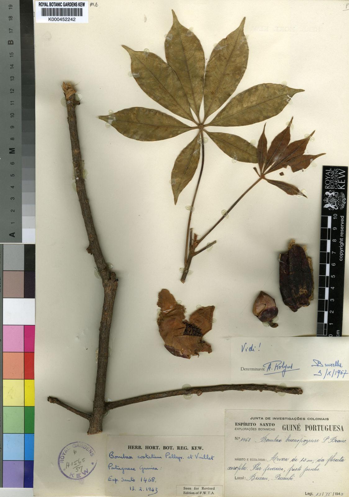 Bombax costatum Pellegr  & Vuillet   Plants of the World