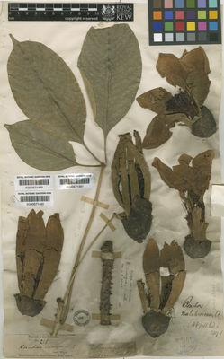 Bombax insigne Wall    Plants of the World Online   Kew Science