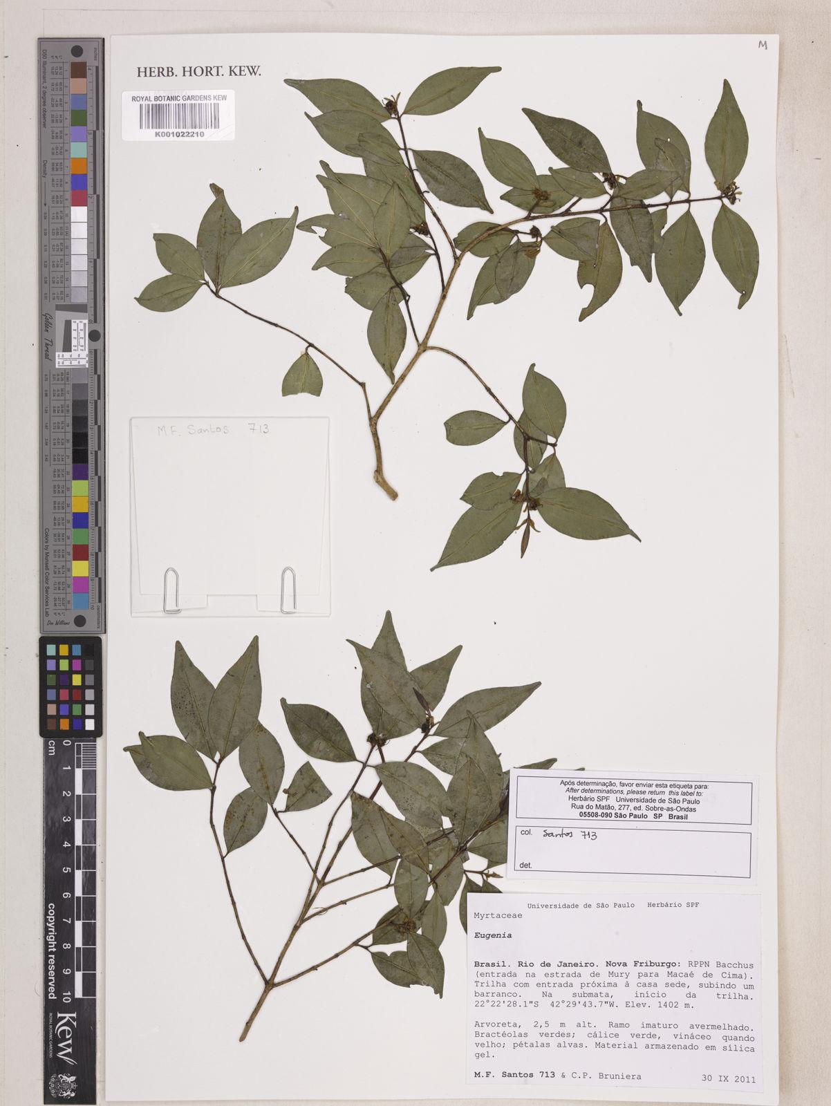 Eugenia expansa Spring ex Mart  | Plants of the World Online