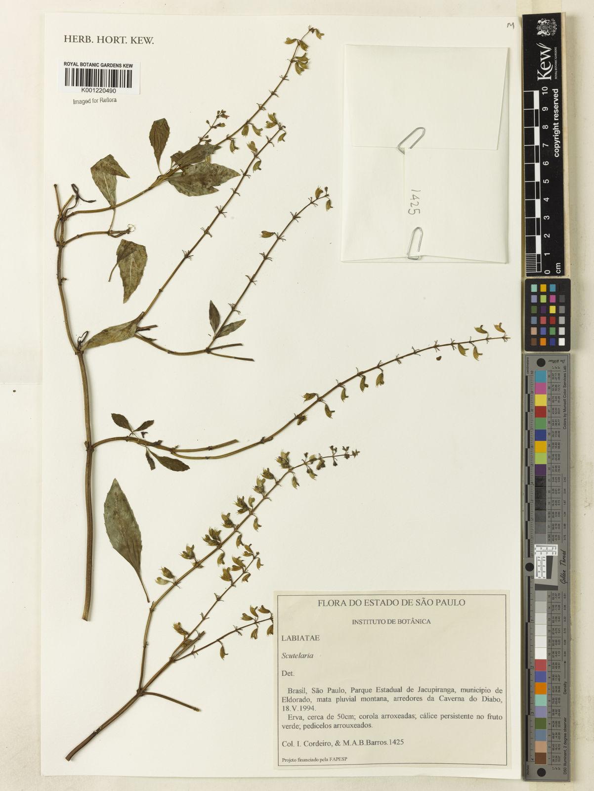 Scutellaria L  | Plants of the World Online | Kew Science