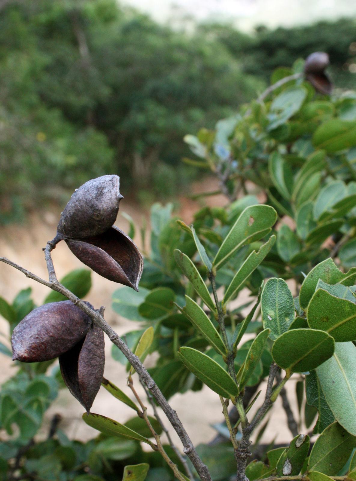 Copaifera L Plants Of The World Online Kew Science