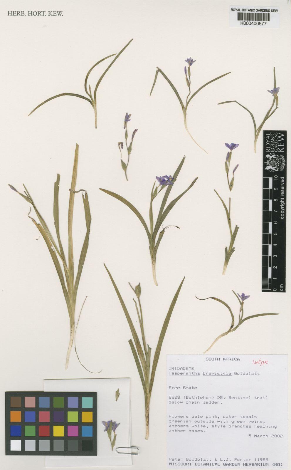 Anther Ladder hesperantha brevistyla goldblatt   plants of the world