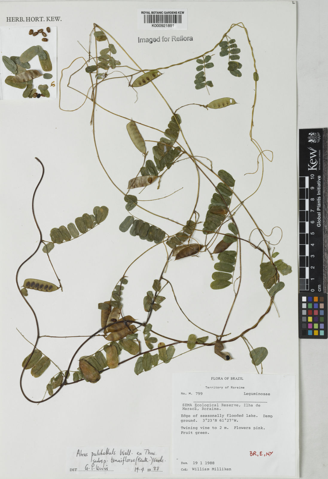 Abrus Melanospermus Hassk Plants Of The World Online Kew Science