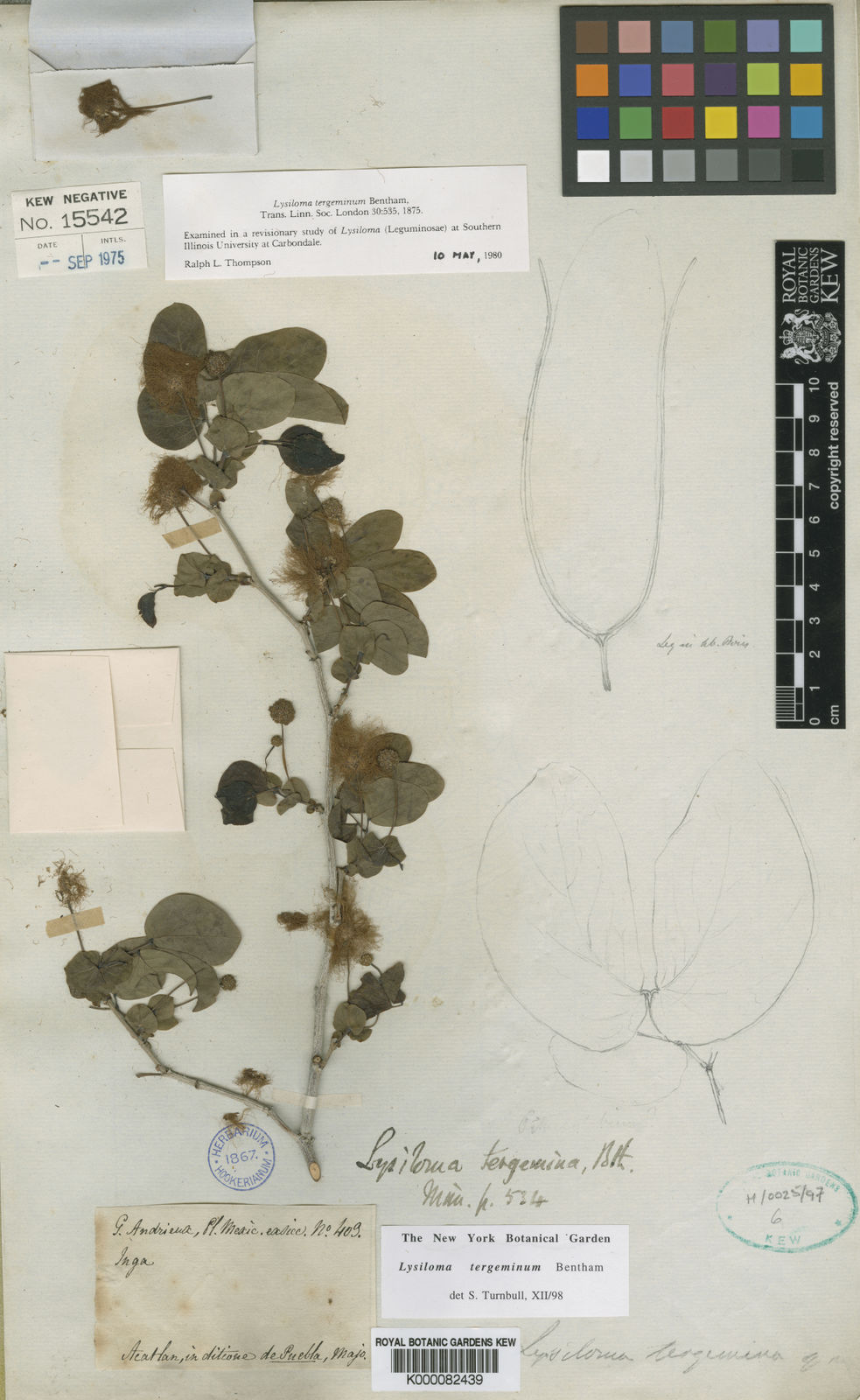 Lysiloma Benth Plants Of The World Online Kew Science