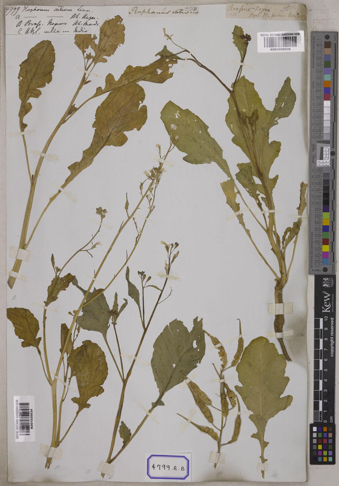 Raphanus raphanistrum subsp  sativus (L ) Domin | Plants of