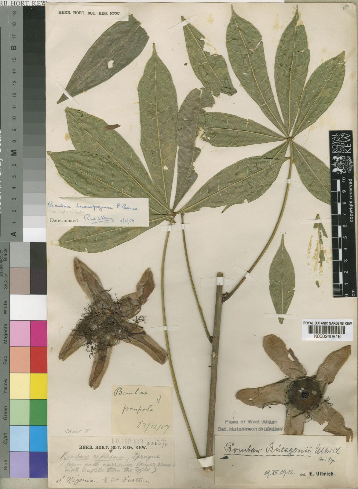 Bombax buonopozense P Beauv    Plants of the World Online   Kew Science