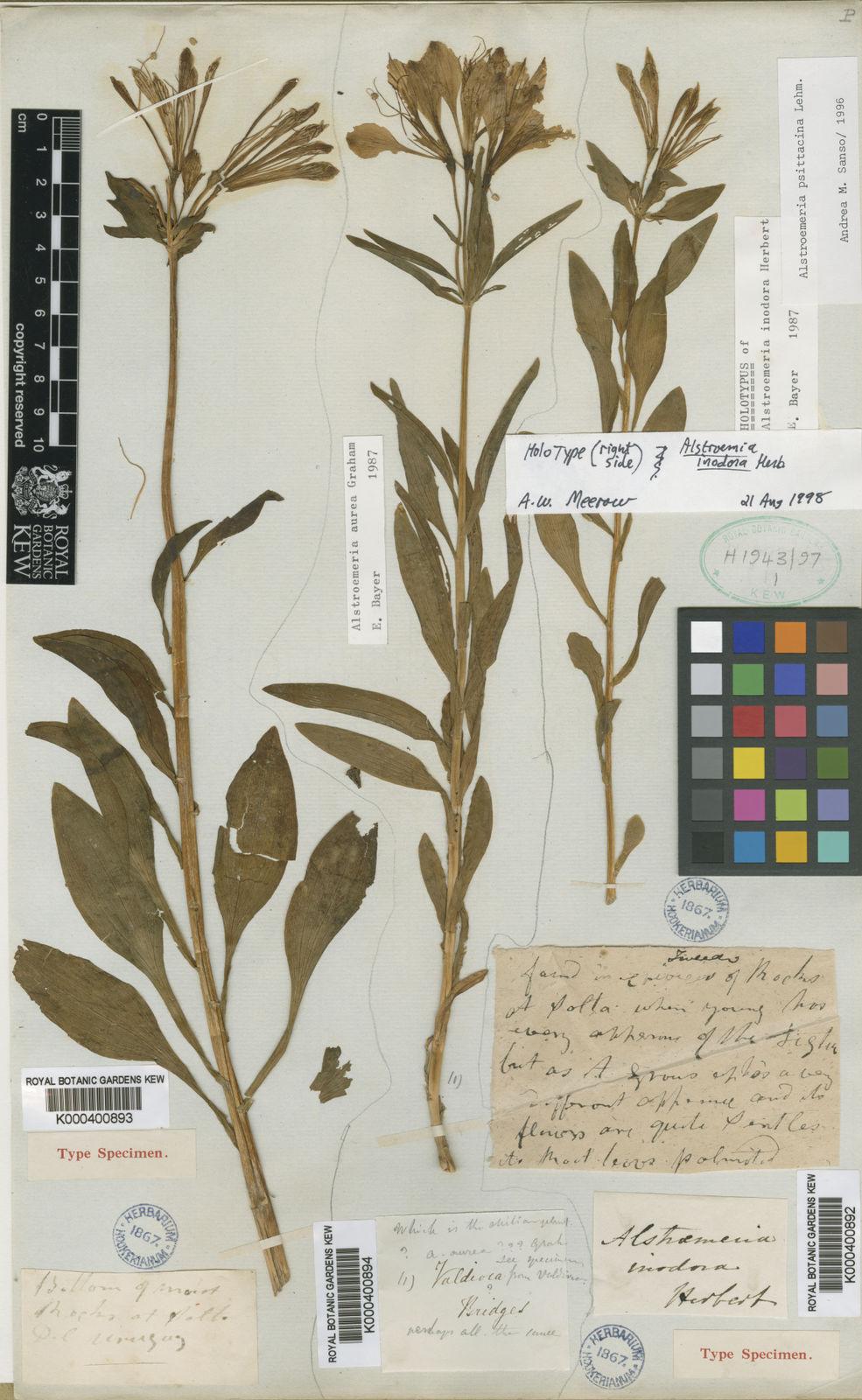 Alstroemeria Aurea Graham