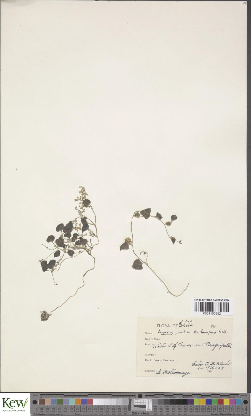 Dioscorea besseriana Kunth | Plants of the World Online | Kew Science