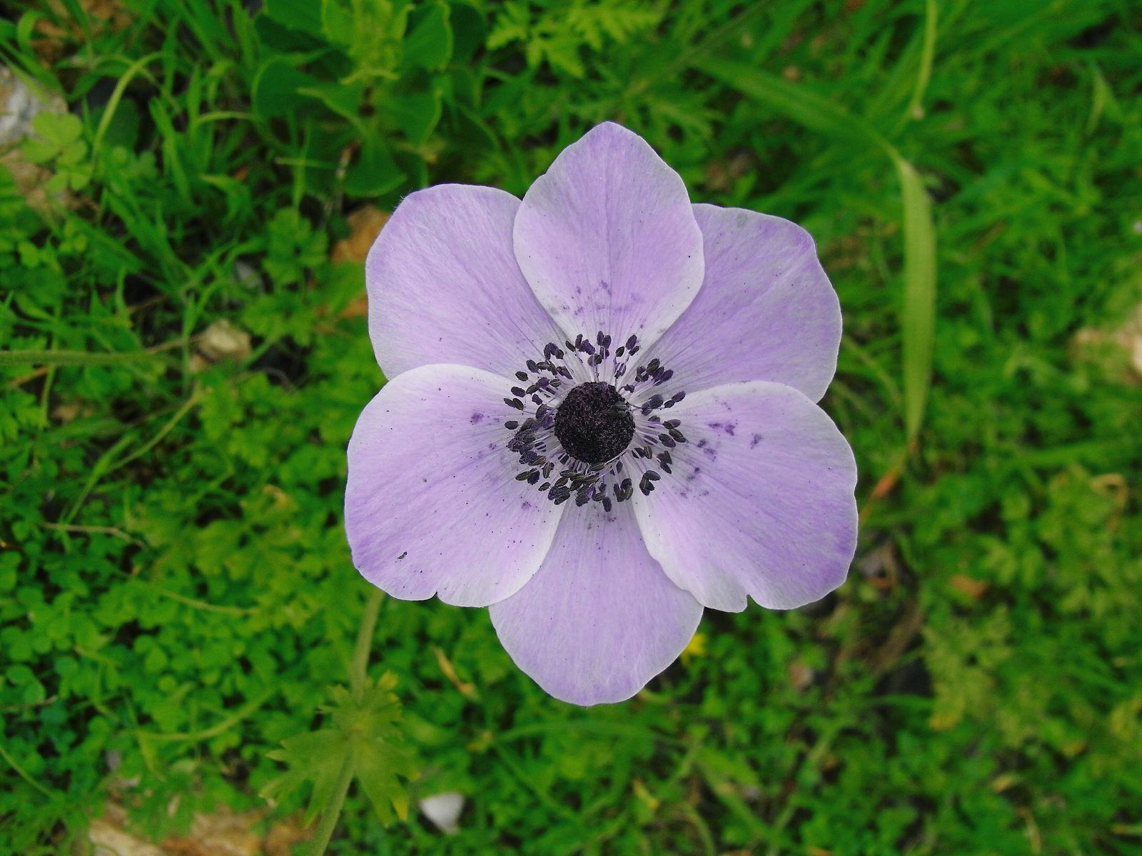 Anemone Coronaria L Plants Of The World Online Kew Science