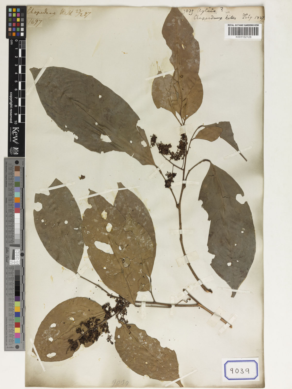 Aglaia Lour    Plants of the World Online   Kew Science
