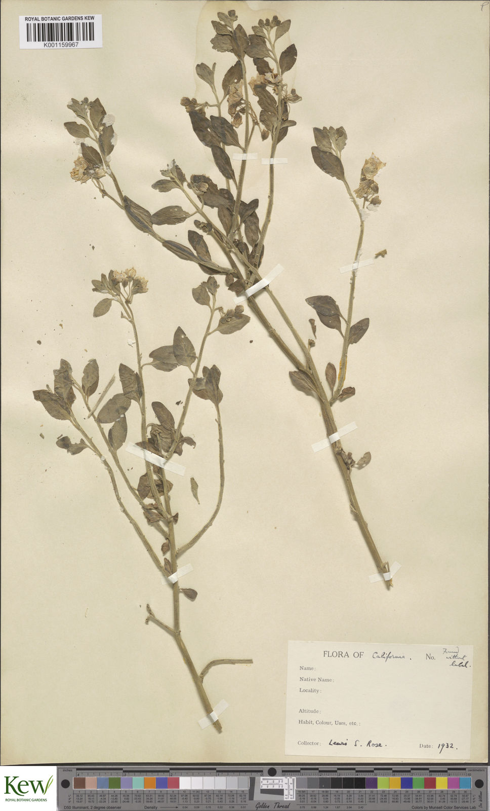 Solanum umbelliferum Eschsch  | Plants of the World Online | Kew Science