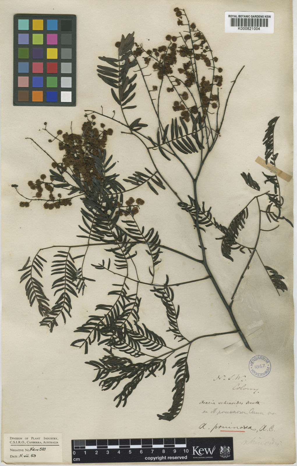 Acacia Schinoides Benth Plants Of The World Online Kew Science