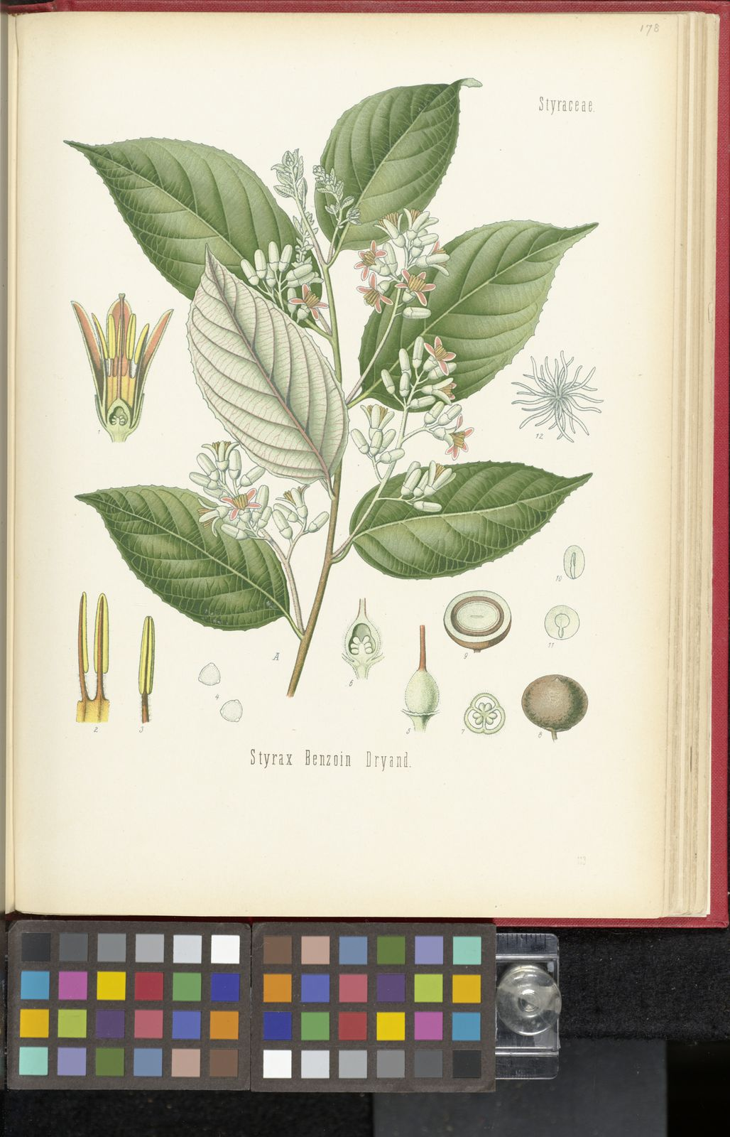 Styrax benzoin Dryand  | Plants of the World Online | Kew