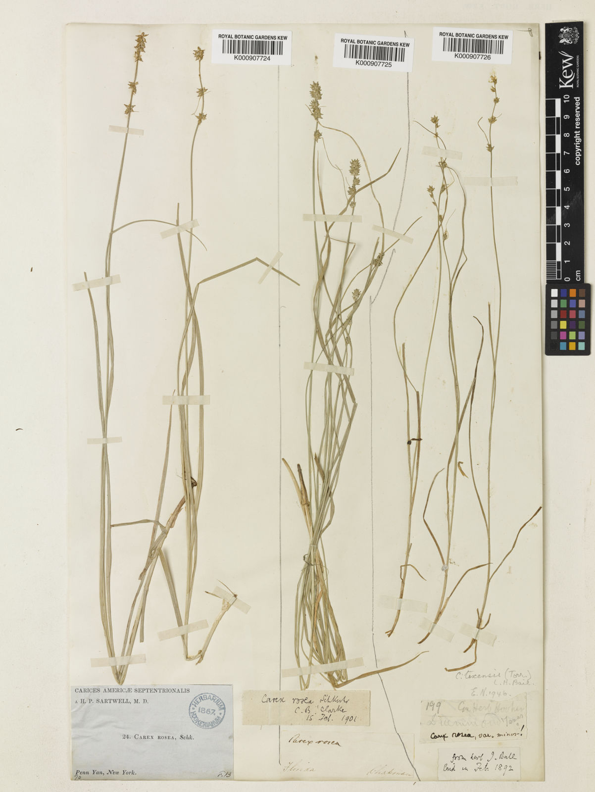 Carex Texensis Torr Ex L H Bailey L H Bailey Plants Of The