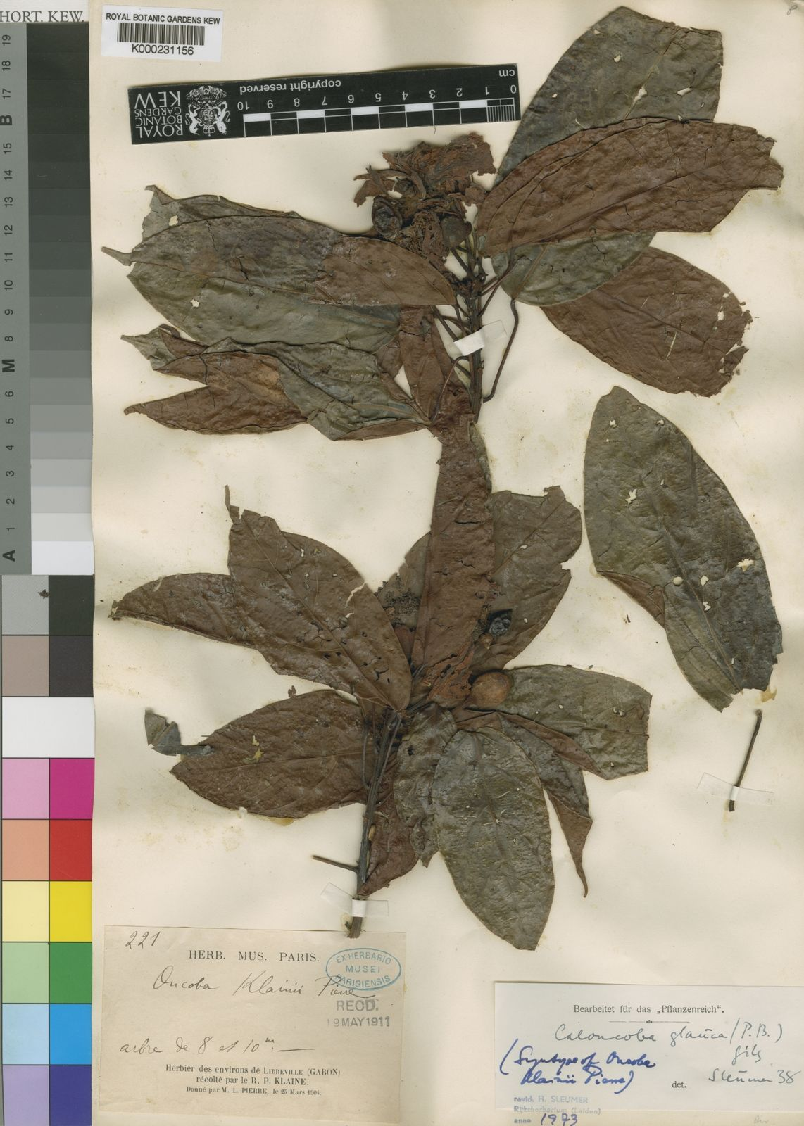 Caloncoba Gilg | Plants of the World Online | Kew Science